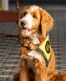 Wonder Morris : Comfort Companion - Therapy Dog In Training