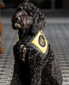Onyx Macer : Comfort Companion - Registered Therapy Dog